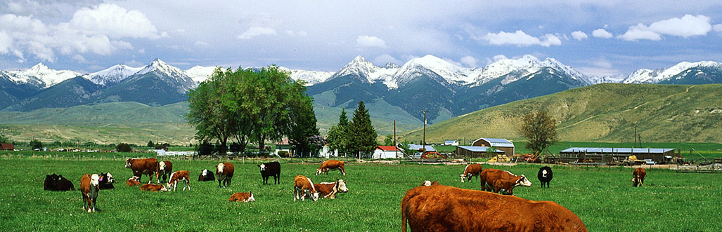 US-Cattle